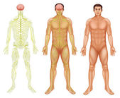 Nervový systém člověka