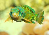 The Mandarinfish or Mandarin dragonet (Synchiropus splendidus)