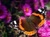 Motýlí vanessa atalanta