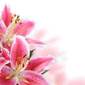 Gigli rosa su sfondo bianco
