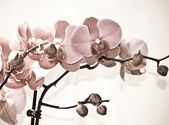 Orchidee blüht, isoliert auf weißem Hintergrund