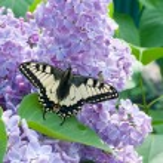 Постер, плакат: Butterfly on lilac