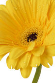 709 mokré žlutý květ