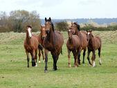Una mandria di cavalli con puledri trotto sciolto verso la fotocamera