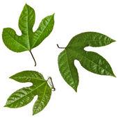 Zelené listy mučenky izolované na bílém