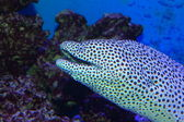 Černá-skvrnitá moray (gymnothorax melanospilus) v Japonsku