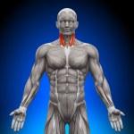 Постер, плакат: Neck Anatomy Muscles