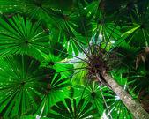 Fächerpalme Blätterdach