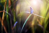 Little blue butterfly in sunset