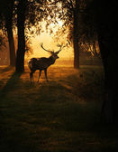 Deer in sunset in the forest