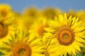 Krásné slunečnice, Toskánsko, Itálie