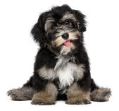 Funny smiling black and tan havanese puppy dog