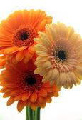 Gerber daisy květ