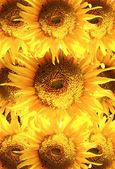 Krásné slunečnice v rámečku