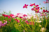 Beautiful Cosmos flowers on sky background