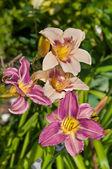 Denivka světle fialové krásné květiny pohlednice