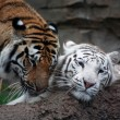 Постер, плакат: Two tigers are playing
