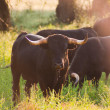 Постер, плакат: Fighting Bulls breed free range