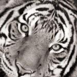 Постер, плакат: Black and white toned photo of a Malayan Tiger