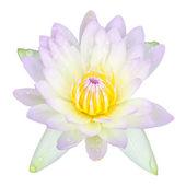 Tropické Lotosový květ
