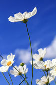 Closeup white cosmos flowers in blue sky