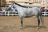 Morfológiája a spanyol lovak lovas vizsgálata