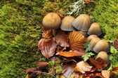 Mushrooms in autumnal beech forest of Montegrande. Asturias, Spa