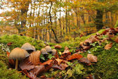 Mushrooms in autumnal beech forest. Asturias, Spain.