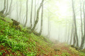 Spring beech forest in the fog, Asturias. Spain.