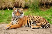 Tiger-Portrait horizontale