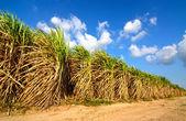 Cukrová třtina pole v modré oblohy a bílý oblak v Thajsku