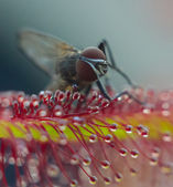 Fly just trapped by Sundew (Macro)