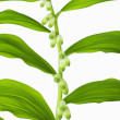 Постер, плакат: Branch of lilies of the valley with rhythmically located leaves