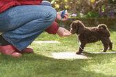 Miniaturní pudl štěně