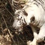 Постер, плакат: White tiger