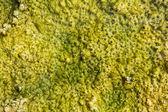 Bubbles in algae