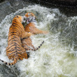 Постер, плакат: Tigers Play Wrestling in Water