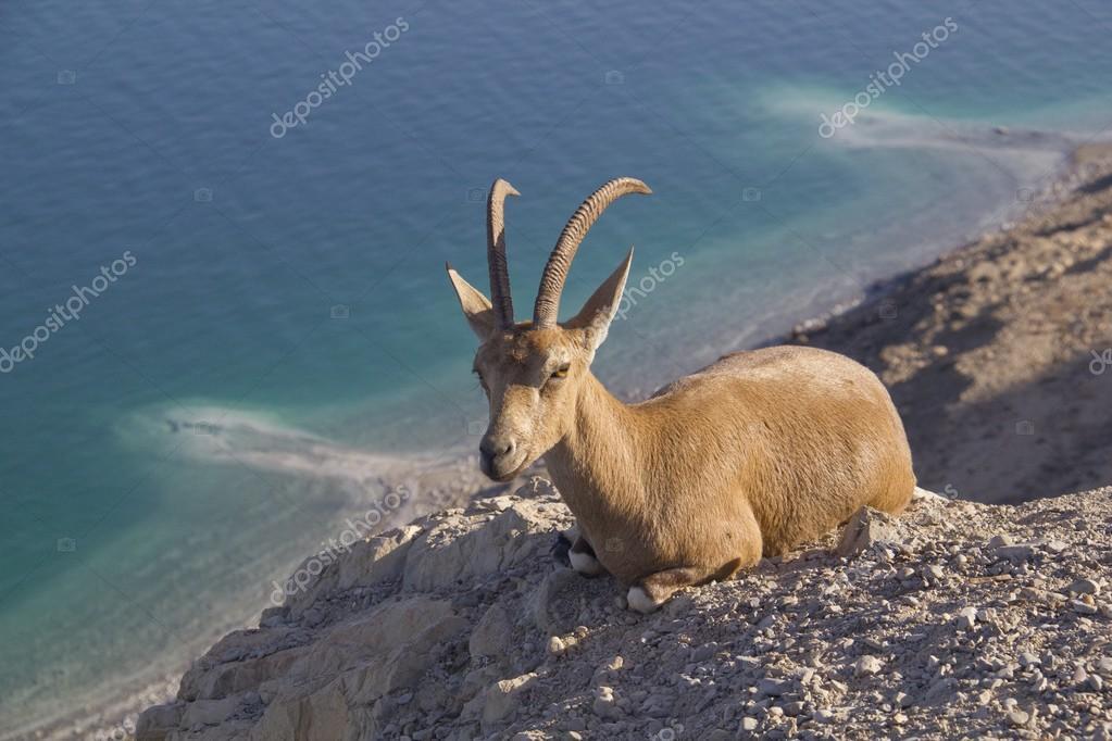 Resting Nubain ibex near Ein Gedi, Dead Sea, Israel