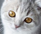 Photo Kitten Scottish Straight. close-up