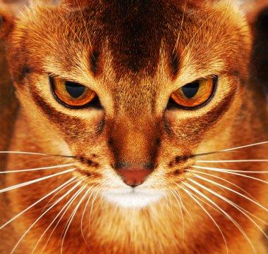 Abyssinian cat closeup