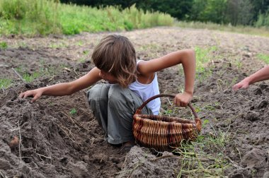 Children reaping potatoes in the field