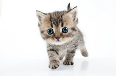 Small Scottish straight kitten walking towards
