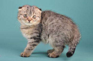 Portrait of a cute Scottish fold kitten