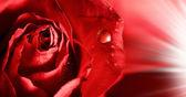 červených růží s kapičky vody a paprsky světla. Abstrakt