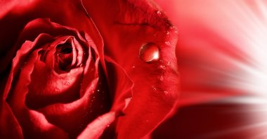 red rose petals with water droplets and rays of light. abstract