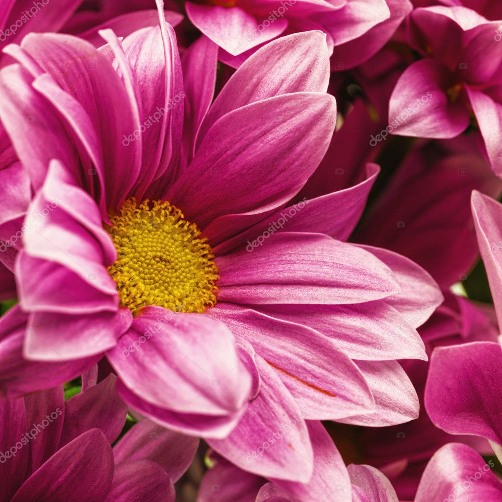 Chrysanthemum Flowers Abstract Floral Backgrounds For Your Desi