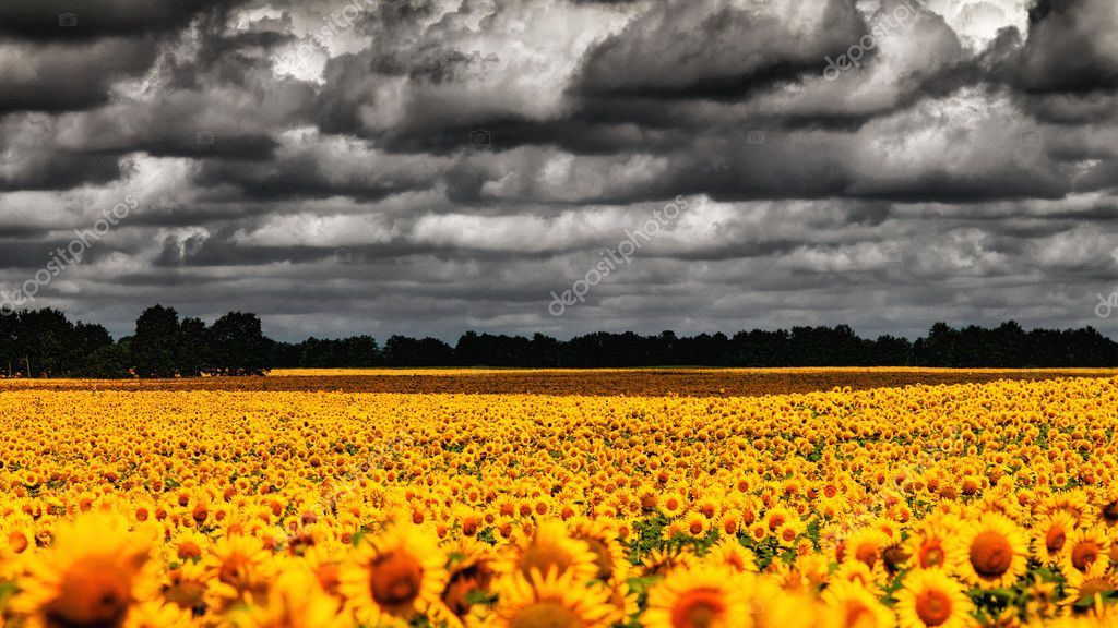 Van Gogh Summer. Dramatic evening over sunflowers meadow