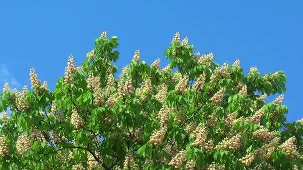 strom kvetoucí kaštan