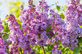 Fotografie Lilac flowers