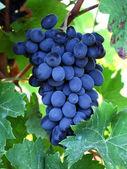friss szőlő